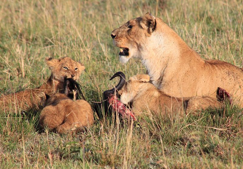Lion Cubs Kill Mara Topi House