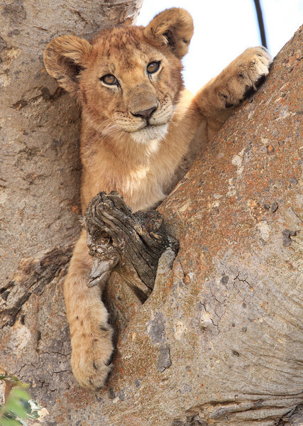 Lion Kopje Central Serengeti Tanzania