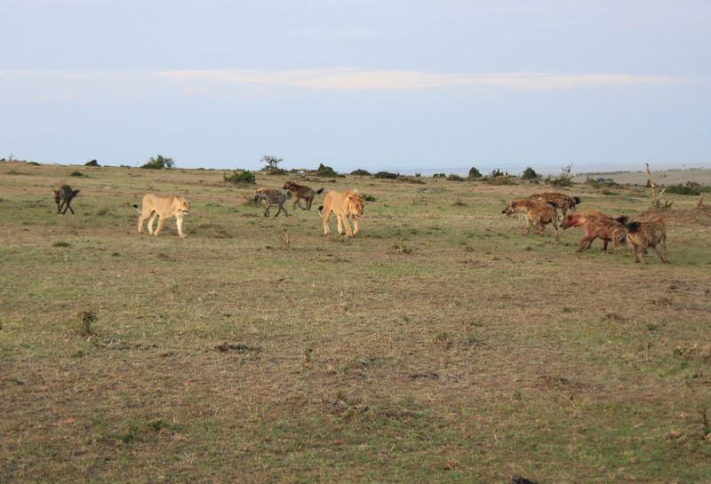 Hyena Kill Lion Mara Topi House