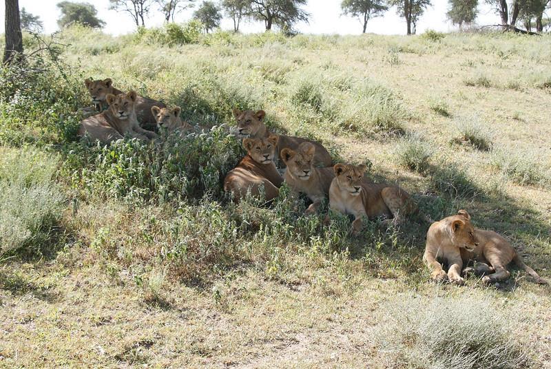 Lion Pride Ndutu Tanzania