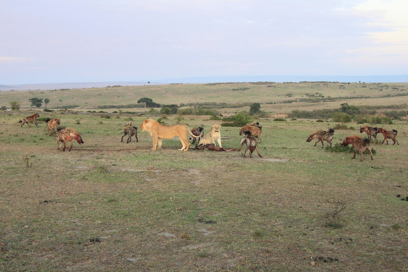 Hyena Kill Lion Mara Topi House