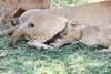 Mara Lions0659