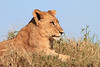 Lion Pride Duba Plains Botswana