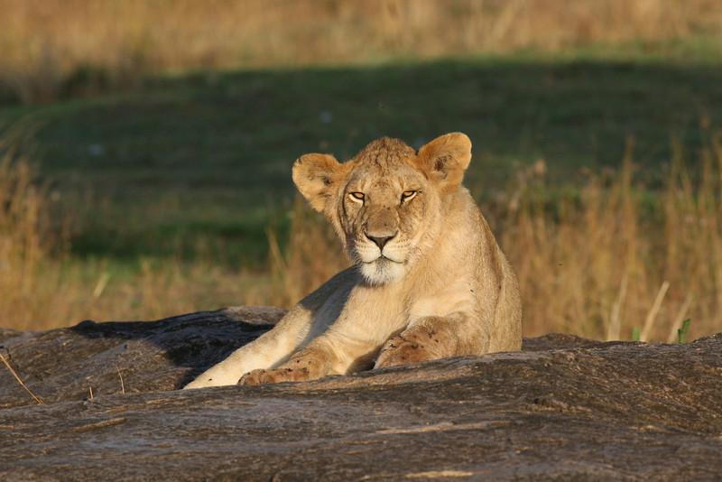 Lion Pride Kleins Camp Tanzania