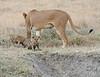 Lion Cubs Mom Crater Tanzania