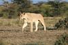 Lioness Mara Topi House