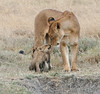 Lion Cub Crater Tanzania with Mom