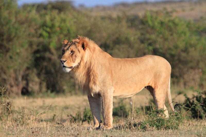 Lion Male Mara Topi House