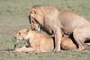 Lion Sex Mara Rekero Camp
