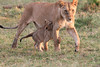 Marsh Pride Lion Cub Family Morning Mara Topi House