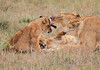Lion Hunting Cubs Family Mara Topi House
