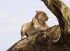 Lion Tree Central Serengeti Tanzania
