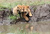 Lion Cubs Family Mara Topi House Water