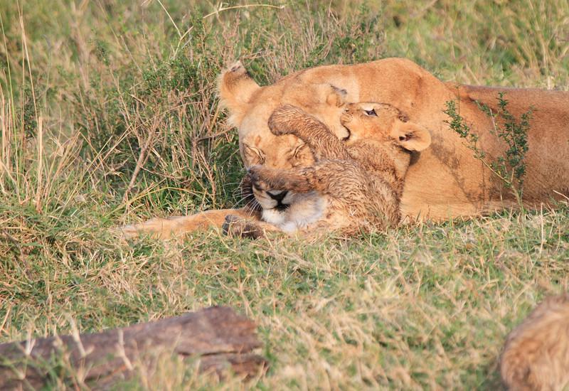 Marsh Pride Lion Cub Family Morning Mara Topi House
