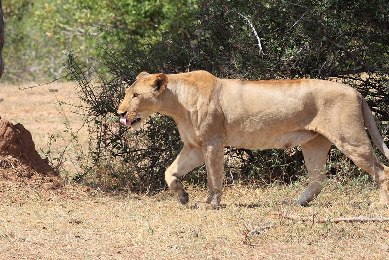 Lioness Sand River Selous Tanzania