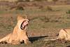 Hyena_Lion_Wildebeest_Kill_Mara_TopiHouse (9)