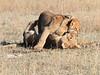 Botswana_Lion-2