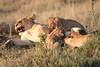 Mara Lions0704