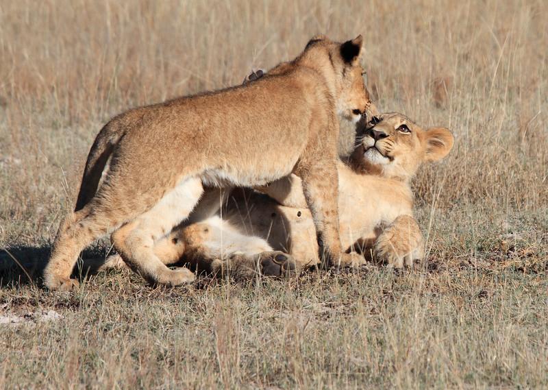 Botswana_Lion-3