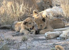 Lion Pride Cubs Ngala South Africa