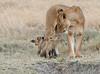Lion Cubs Crater Tanzania