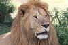 Hyena_Lion_Wildebeest_Kill_Mara_TopiHouse (31)