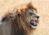 Male Lion Mara Kichwa Tembo