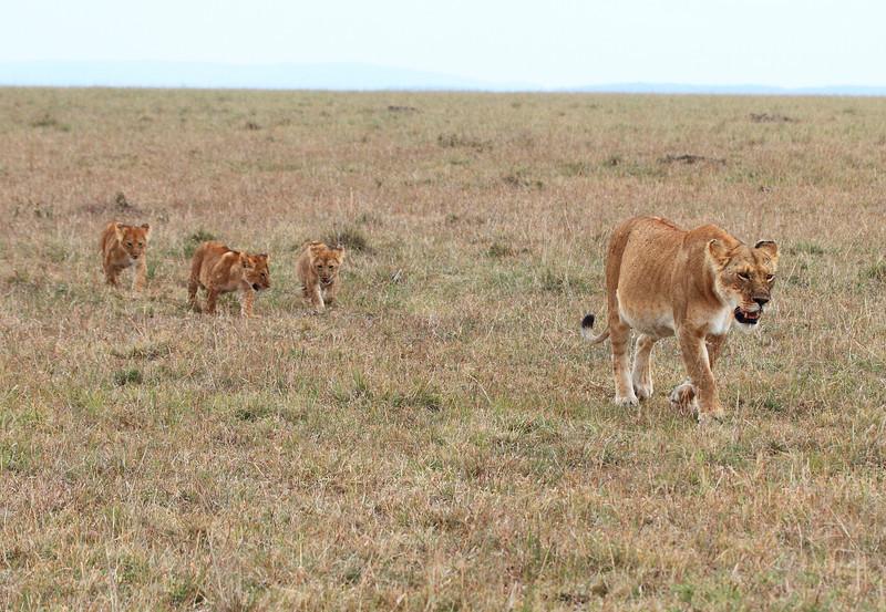 Lion Hunting Cubs Family Mara Topi House