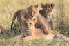 LionCubAndFamilyMorning0174
