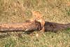 LionCubAndFamilyMorning0154