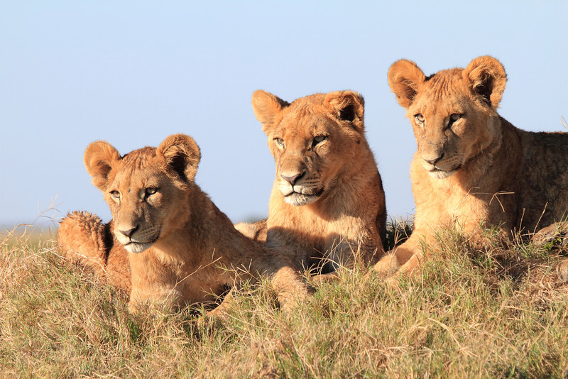 Lion Pride Duba Plains Botswana