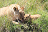 Mara Lions0744
