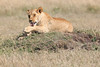 Female Lion Mara Topi House