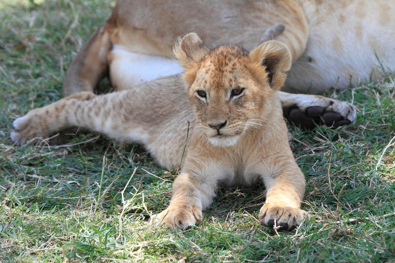 Lion Marsh Pride Cubs Mara Topi House