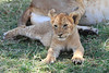 Lion Marsh Pride Cubs Mara Topi House