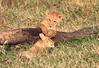 LionCubAndFamilyMorning0056