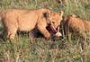 Lion Family Kill Mara Topi House