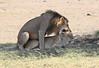 Lion Sex Mara Rekero