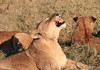Lion Pride Kill Duba Plains Botswana