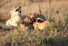 Mara Lions0648