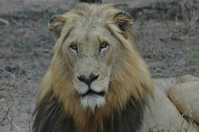 OLD Lion South Africa Londolozi