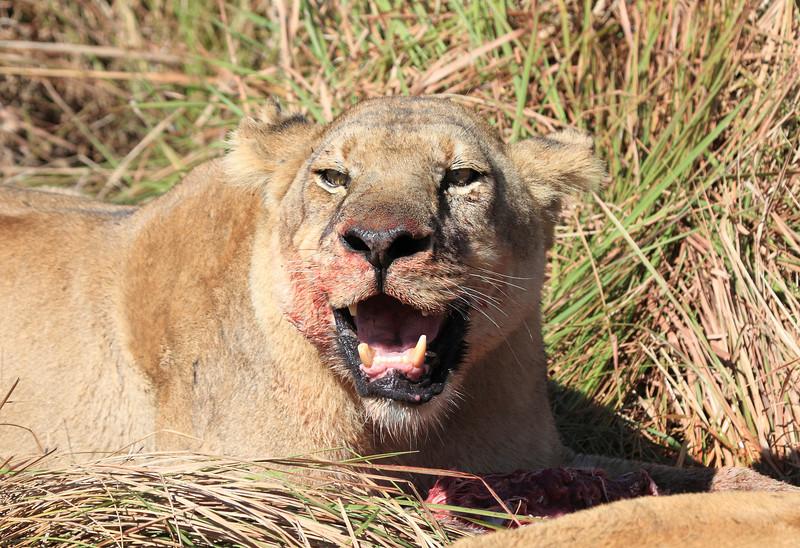 Lion Pride Kill Duba Plains Botswana