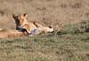 Mara Lions0699