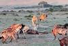 Hyena Lion Wildebeest Kill Mara Topi House