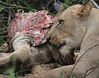 Lion Kill Phinda South Africa
