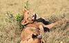 Lion Pride Females Duba Plains Botswana