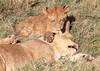 Lion Pride Cubs Duba Plains Botswana