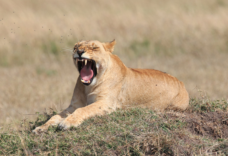 Female Lion Mara Topi House