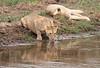 Lions Drinking Tarangire Tanzania