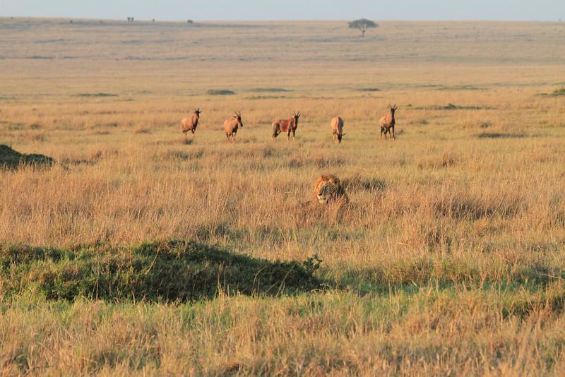 Male Lion Mara Topi House